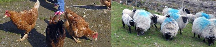 Irland Urlaub Bauernhof Hühner Schaaf