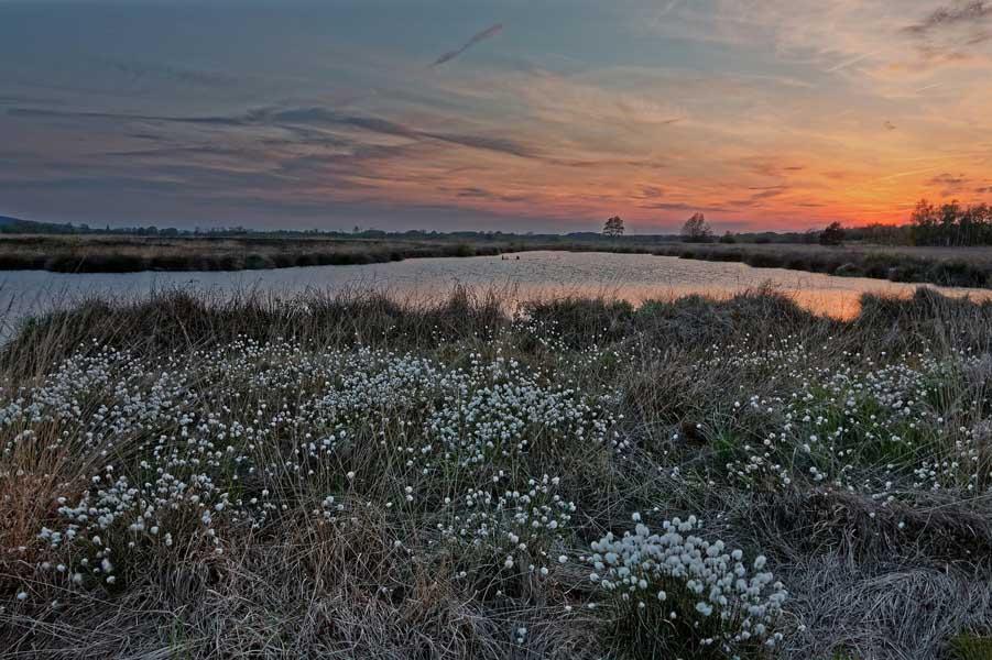 Wollgras im Moor in Irland
