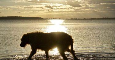 irische wolfshund