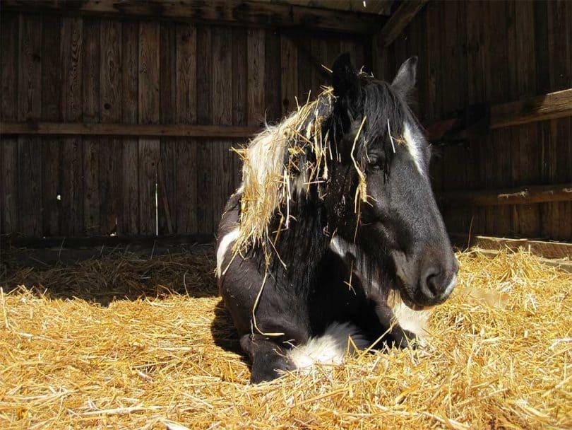 Tinker Pferde