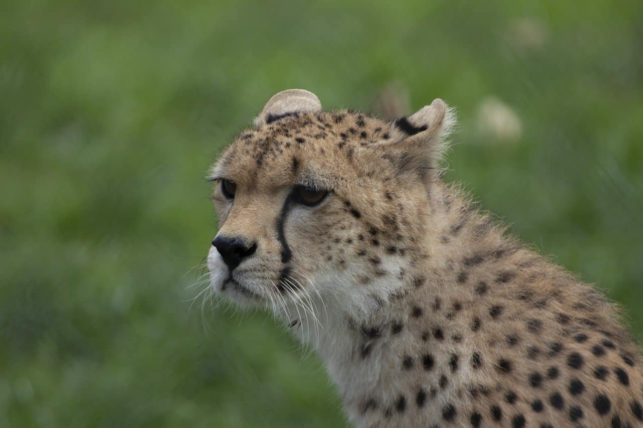 Gepard Fota Wildlife Park Cobh