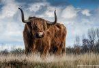 Rinderraub von Cooley